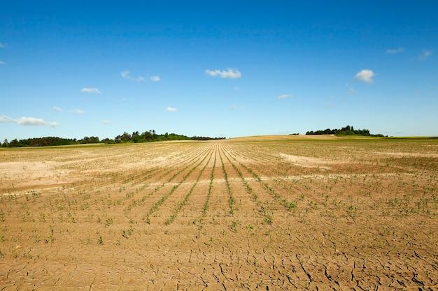 Pole uprawne, na którym rośnie młoda zielona kukurydza. niedojrzała kukurydza