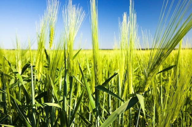 Pole uprawne, na którym rośnie niedojrzałe zielone ziarna