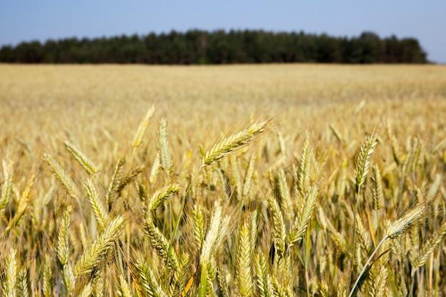 Pole uprawne, na którym rośnie pożółkła trawa, która jest prawie gotowa do zbioru, zbliżenie.