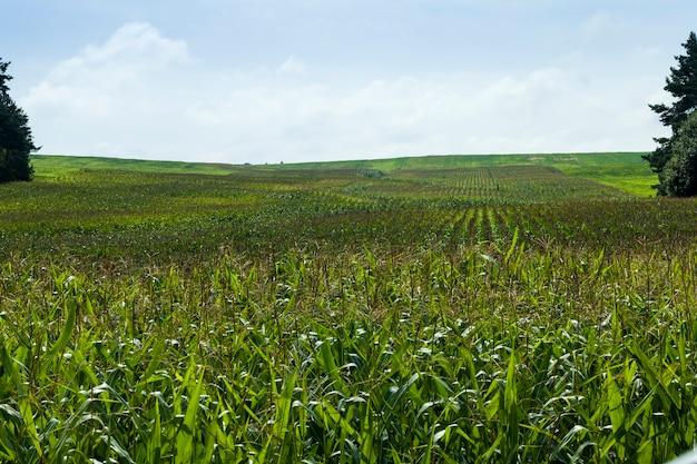 Pole uprawne, na którym rośnie zielona kukurydza, rolnictwo w celu uzyskania plonów zbożowych, kukurydza młoda i jeszcze niedojrzała, pole uprawne obsiane kukurydzą