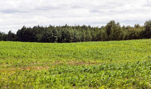 Pole uprawne, na którym rośnie zielona kukurydza wczesnym latem, jest nadal niedojrzałe