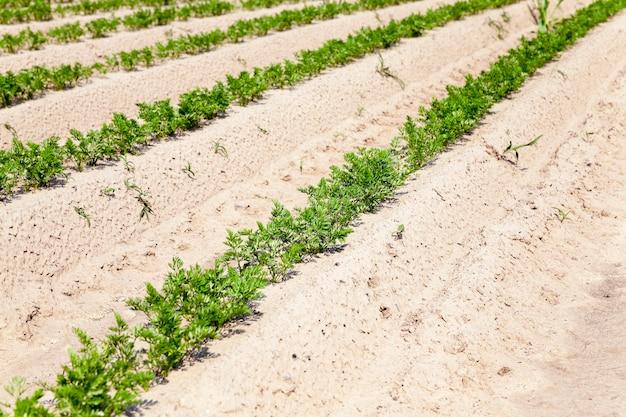 Pole uprawne, na którym rośnie zielona młoda marchewka, rolnictwo, rolnictwo