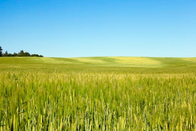 Pole uprawne, na którym rośnie zielona niedojrzała trawa pszeniczna, krajobraz