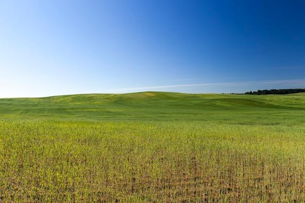 Pole uprawne, na którym rośnie zielona pszenica, rolnictwo w celu uzyskania plonów zbożowych, pszenica jest młoda i jeszcze niedojrzała, krajobraz upraw pszenicy rolnej