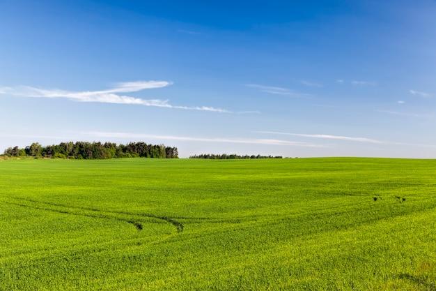 Pole uprawne, na którym rośnie zielona pszenica, uprawa w celu uzyskania plonu jeszcze niedojrzałego ziarna, pszenicy młoda i jeszcze niedojrzała, krajobraz pola uprawnego obsianego pszenicą