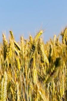Pole uprawne, na którym rośnie zielona pszenica, uprawa zbóż, pszenica jest młoda, zielona i wciąż niedojrzała, zbliżenie uprawy pszenicy na tle nieba