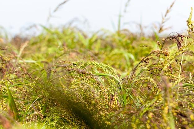 Pole uprawne, na którym rośnie zielona roślinność i trawa. zdjęcie zbliżenie. sezon letni