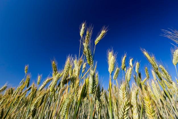 Pole uprawne, na którym rośnie zielone żyto, uprawa zbóż, żyto jest młode, zielone i jeszcze niedojrzałe, zbliżenie żyta na tle nieba