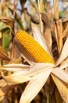 Pole uprawne, na którym uprawia się kukurydzę, kukurydza jest dojrzała, kolby z nasionami, ale zaczęły pokrywać się pleśnią i grzybami, utracone plony, zbliżenie