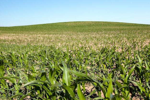 Pole uprawne, na którym uprawia się kukurydzę. niedojrzałe zbiory zieleni na tle błękitnego nieba