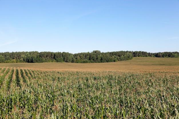 Pole uprawne, na którym uprawia się młodą zieloną kukurydzę