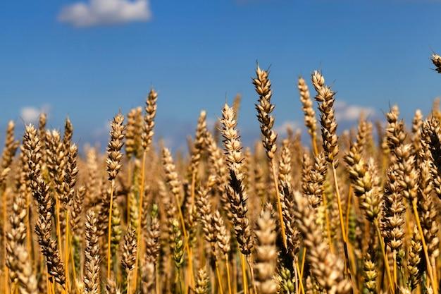 Pole uprawne, na którym uprawia się ziarno pszenicy, które posłuży do wypieku chleba, ciast i innych potraw mącznych, zbliżenie na tle błękitnego nieba