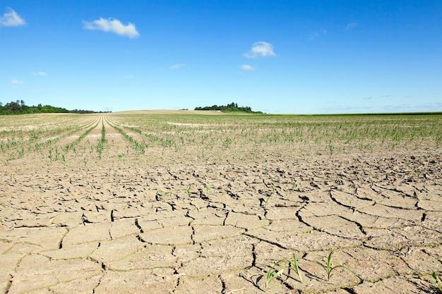 Pole uprawne, na którym uprawiana jest młoda zielona kukurydza. niedojrzała kukurydza