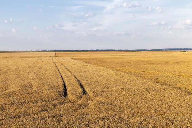 Pole uprawne, na którym uprawiane są zboża, pszenica lub żyto