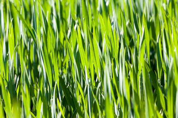 Pole uprawne, na którym wyrosła zielona pszenica, uprawa zbóż, pszenica jest młoda i zielona i wciąż nie rośnie, zbliżenie uprawy pszenicy