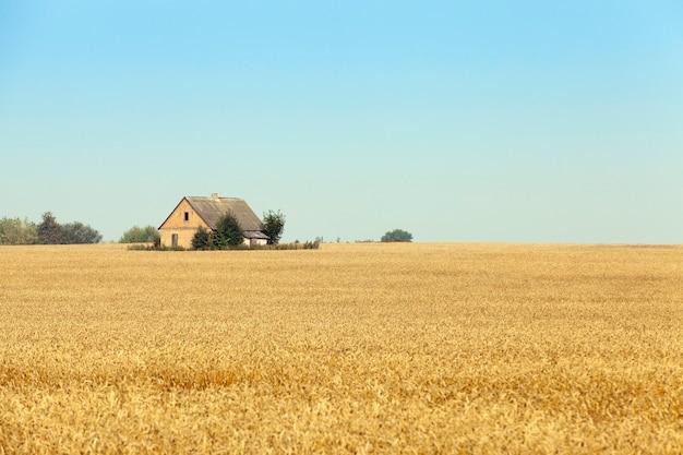 Pole uprawne, na którym zbudowany jest dom, wokół którego rośnie pszenica żółta. błękitne niebo w tle. zdjęcie zrobione zbliżenie