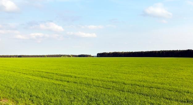 Pole uprawne obsadzone zieloną trawą, wiosenna słoneczna pogoda, bogata kolorystyka