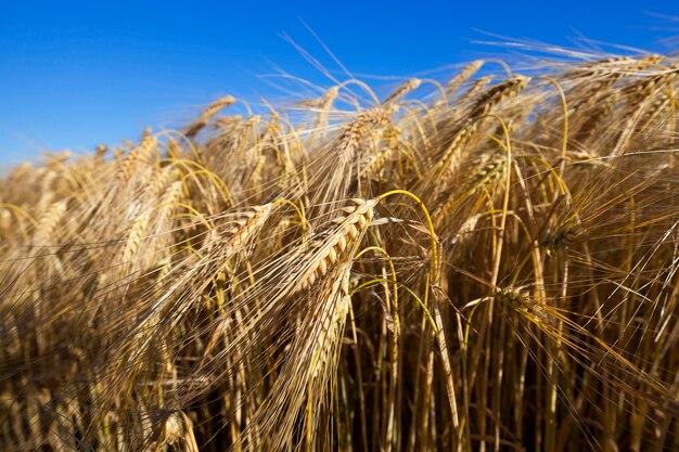 Pole uprawne z pożółkłych dojrzałych zbóż w lecie