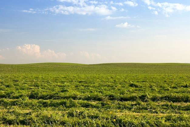 Pole uprawne z zieloną trawą i roślinami do późniejszego koszenia