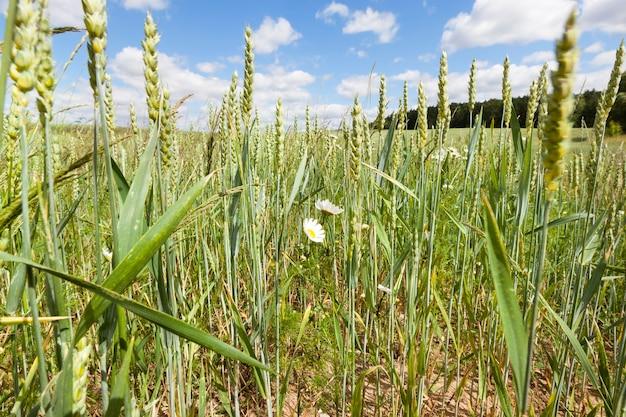 Pole uprawne z zielonymi niedojrzałymi kłoskami pszenicy latem, wśród pszenicy rosną żółto-białe stokrotki