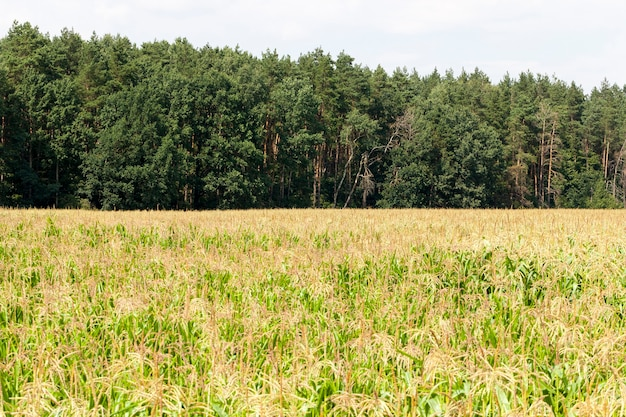 Pole uprawne zielonej kukurydzy do produkcji zbóż