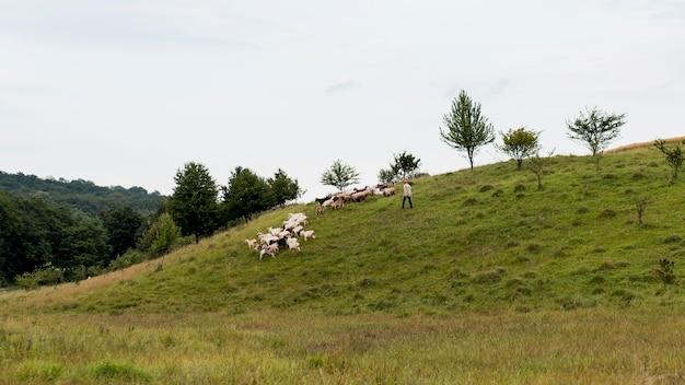 Pole wiejskie z kozami