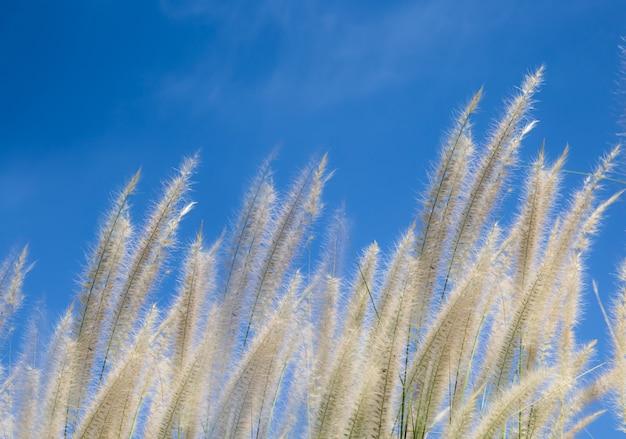 Pole wietrznej trawy lub pole trawy kwiatowej