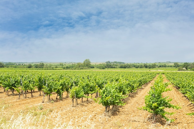 Pole winorośli z liśćmi z pomarańczowym niebem i chmurami