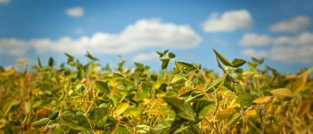 Pole z dojrzałą soją. glycine max, soja, soja wyrastają z soi. jesienne zbiory. rolnicza plantacja soi.