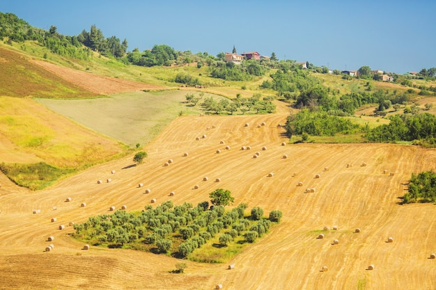Pole z drzewami oliwnymi. piękny letni krajobraz z panoramą drzew oliwnych. podróż do włoch klasyczna włoska farma. włoski krajobraz jesienią. rosną zbiory na polu.