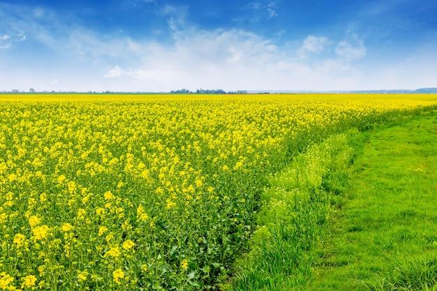 Pole z jasnożółtymi kwiatami rzepaku i błękitnym niebem. uprawa rzepaku