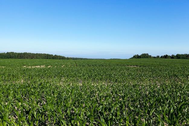 Pole z kukurydzą pole uprawne, na którym uprawia się młodą zieloną kukurydzę. niedojrzała kukurydza