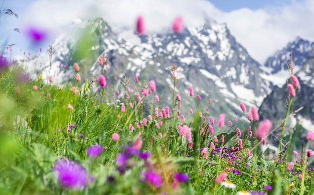 Pole z kwitnącymi roślinami, ziołami i kwiatami na dombai latem na tle gór z ośnieżonymi szczytami