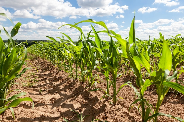 Pole z łodygami kukurydzy na wiosnę. początek wzrostu zbóż do produkcji pasz dla zwierząt. błękitne niebo i białe chmury
