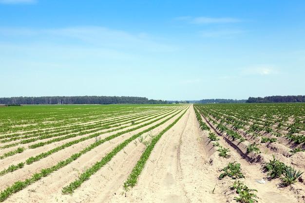 Pole z marchewką pole uprawne, na którym rosną marchewki. zielone marchewki roślinne