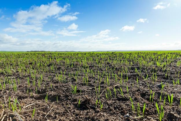 Pole z młodych pszenicy sfotografowany zbliżenie zielonych kiełków pszenicy na początku ich wzrostu w rolnym polu wiosennym