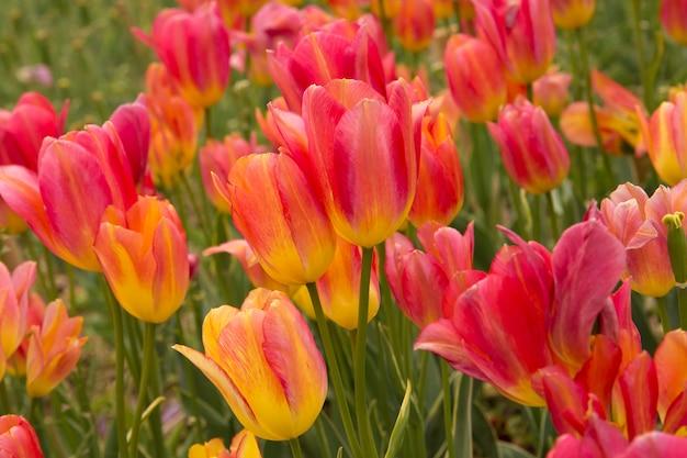 Pole z różowymi tulipanami.