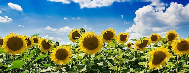 Pole z słonecznikami przeciw niebieskiemu niebu. piękny krajobraz. transparent