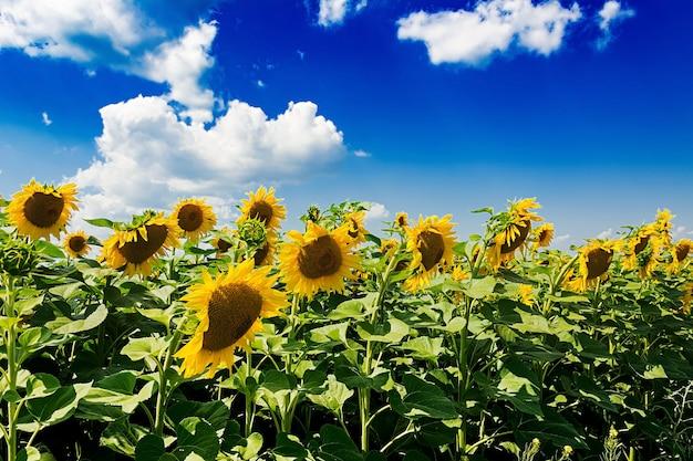 Pole z słonecznikami przeciw niebieskiemu niebu. piękny krajobraz