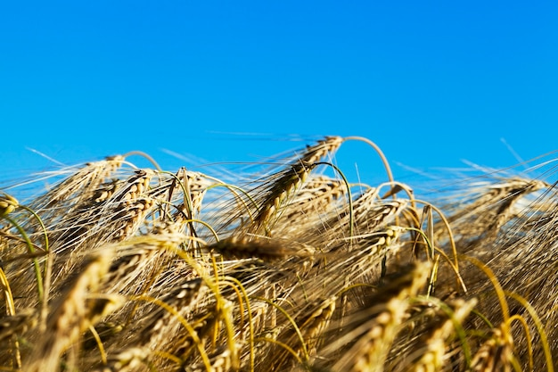 Pole zboża latem pole uprawne z pożółkłych dojrzałych zbóż latem