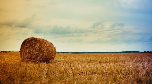 Pole ze stosami. stogi siana na polu. zapasy siana na zimę. pasza dla bydła.