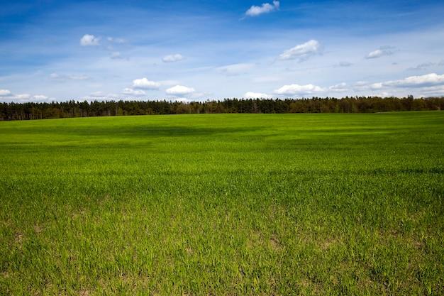 Pole ze zbożami pole uprawne, na którym rośnie młoda trawa