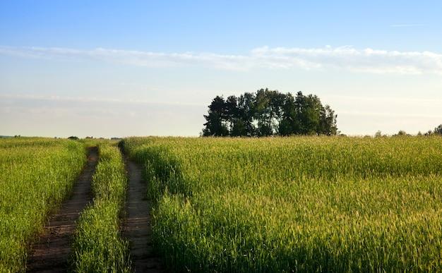 Pole ze zbożem i drewnem, przez pszenicę pozostały 2 koleiny