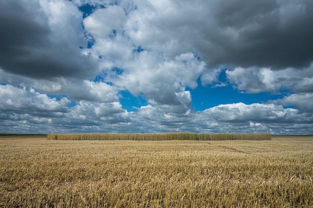 Pole ziarna jęczmienia pod niebem pełnym chmur