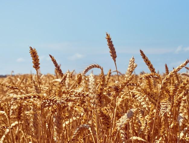 Pole ziarna pszenicy w słoneczny dzień.