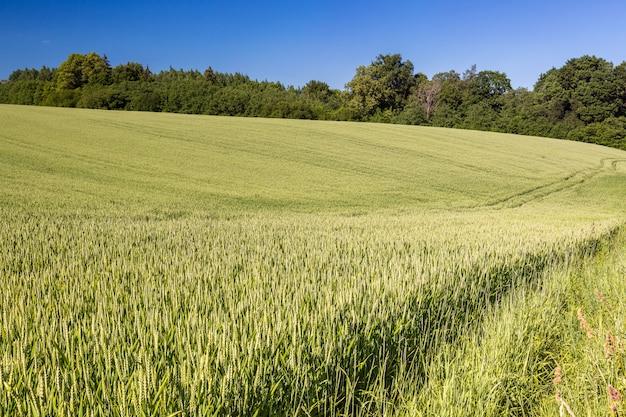 Pole zieleni zboża w lecie. widok rolnictwa.