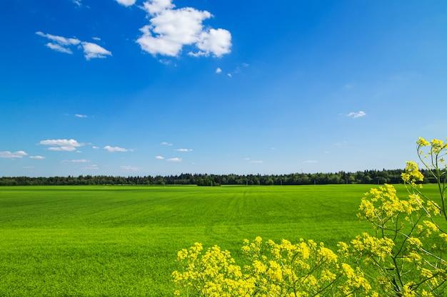 Pole zielona trawa i błękitne niebo. jasny słoneczny letni dzień. idylliczny krajobraz.