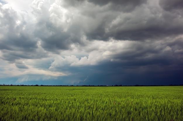 Pole zielone pszenicy i pochmurne niebo. dramatyczny krajobraz. kompozycja natury