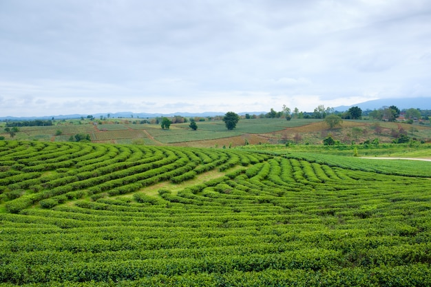 Pole zielonej herbaty w fram