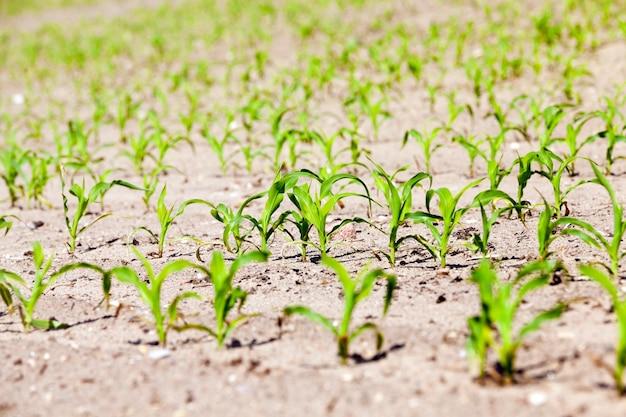Pole zielonej kukurydzy - pole uprawne, na którym uprawia się rośliny - kukurydza. wiosna. zbliżenie
